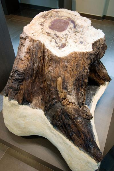 Photo of the fossilized tree stump of Hoegaarden in the hall '250 years of Natural Sciences'