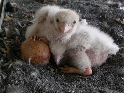 The nest with three chicks and one egg