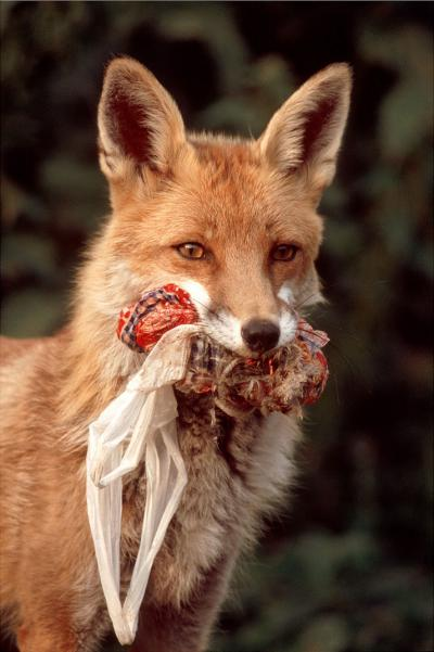 In the city, foxes can find food all year round, mainly in our bins