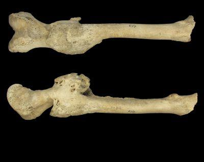 Fractured femur from the collection of individuals from the Early Middle Ages. They were found at the cemetery of Ciply (Belgium)