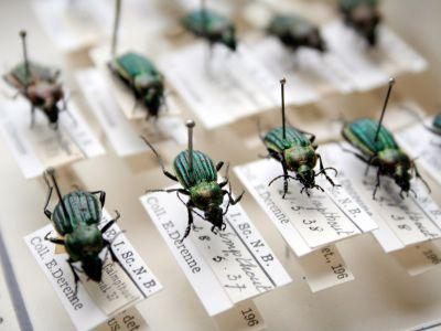 Belgian beetles in the Derenne collection (© RBINS, Thierry Hubin)