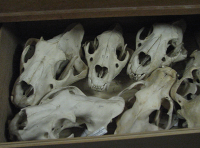 Skulls in a drawer of the vertebrates collection