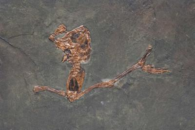 Eopelobates wagneri, a fossil frog from Messel