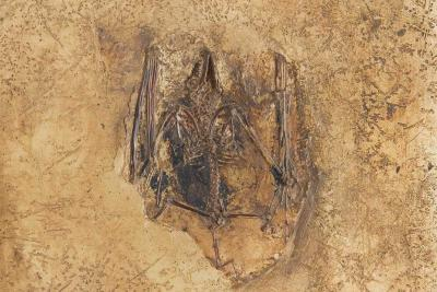 Palaeochiropteryx sp., a fossilised bat from Messel
