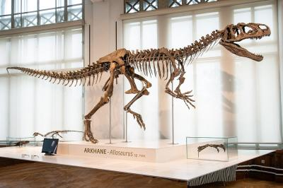 Arkhane, the new species of dinosaurs of the Upper Jurassic (photo: Thierry Hubin / RBINS)