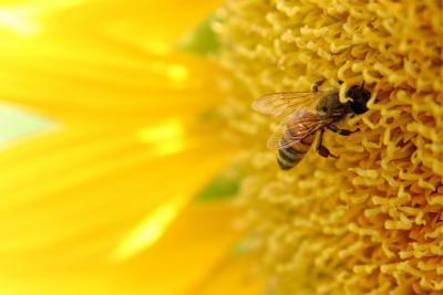 Bee contributing to pollination.