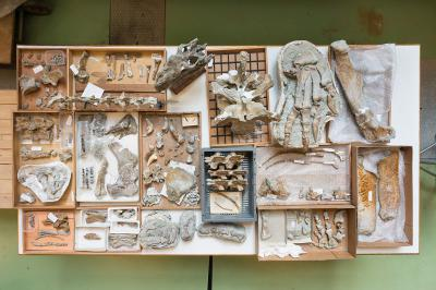 Overview of the prepared bones. The skull is a cast. (photo: Thierry Hubin - RBINS)