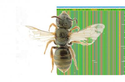 A wild bee of the Halictidae family (©Alain Pauly, RBINS) in front of a tiny part of its DNA sequence