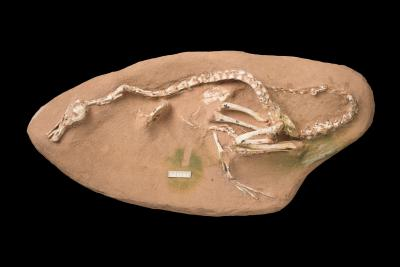 Extremely well-preserved fossil of Halszkaraptor escuilliei from Mongolia, still partly embedded in rock. (Photo: Thierry Hubin, RBINS)
