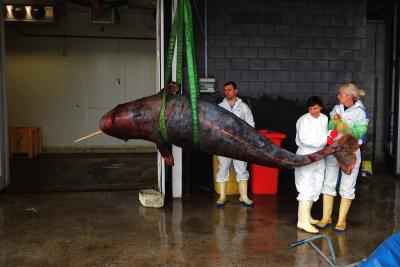Narwhal in the autopsy room (Picture RBINS-OD Nature).