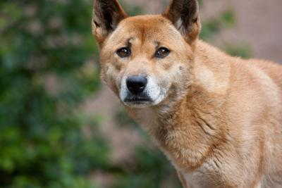 The New Guinea Singing Dog belongs to one of at least five lineages that split off from the ancestral dog population during the Last Ice Age. (Photo: Nathan Rupert)