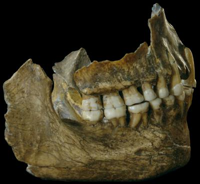 Mandible of the Neanderthal individual Spy II. The DNA in the calculus shows that the woolly rhinoceros was on the menu. The bacterial composition is similar to that in carnivores. (Photo: RBINS)