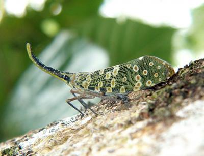 Pyrops condorinus, lanternfly from Cambodia observed by a citizen scientist (Photo: Gerard Chartier)