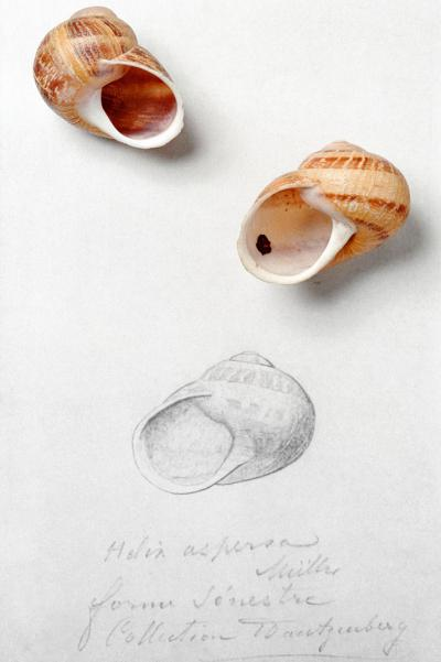 Two specimens of 'Helix aspersa aspersa': one with a dextral shell (it coils in a clockwise direction from the opening) and one with a sinistral shell