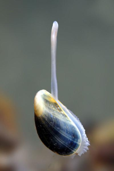 """The gland that mussels have at the base of their foot for produces byssal threads (the mussel's """"beard"""")."""