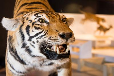 """One of the tigers on display in """"WoW – Wonders of Wildlife"""", all are part of the Panthera tigris tigris subspecies.  (Photo: Thierry Hubin, RBINS)"""