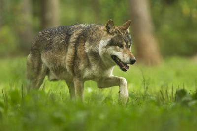 Canis lupus, the wolf (photo: Domain of the Caves of Han)