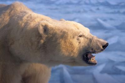 It is the huge morphology of the polar bear (Ursus maritimus) that helps it efficiently conserve its body heat