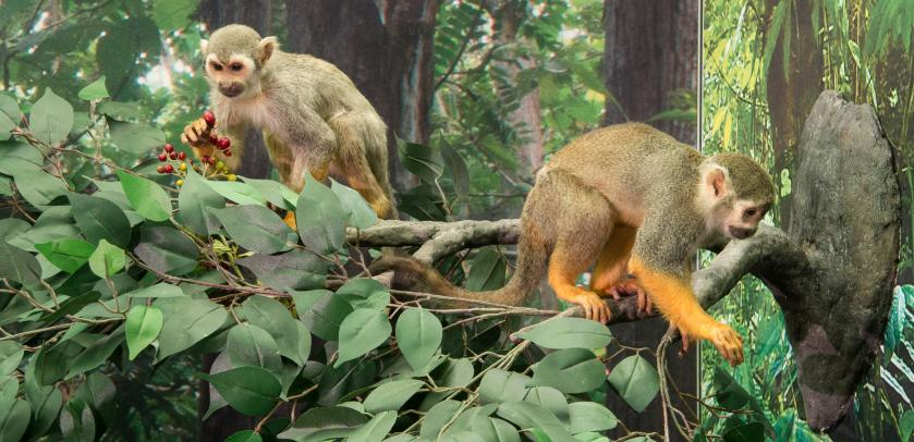 Monkeys mounted eating in a tree int the exhibition MONKEYS (photo: Thierry Hubin / RBINS)