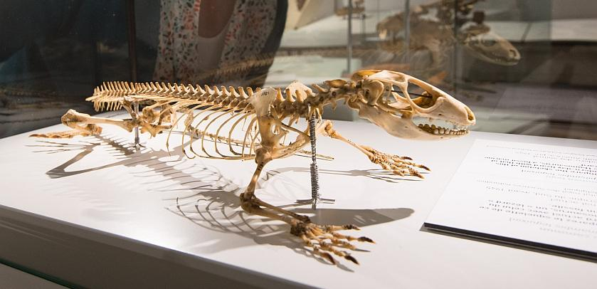 Skeleton of a lizard exhibited in the Mosasaur Hall