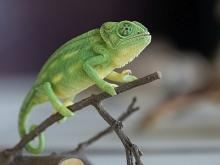 A chameleon exhibited in the Living Planet gallery (photo: Thierry Hubin / RBINS)