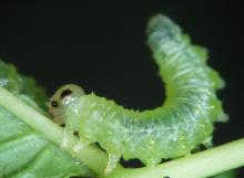 Sawfly larva Nematus spiraeae. By raising its abdomen, the insect stays ready to emit defensive volatiles upon harassment. Photo: Jean-Luc Boevé