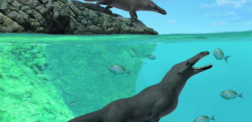 Artistic reconstruction of two individuals of Peregocetus, one standing along the rocky shore of nowadays Peru and the other preying upon sparid fish. The presence of a tail fluke remains hypothetical. (A. Gennari)